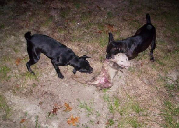 Griffith Land Cattle Co Patterdale Terriers Central Virginia